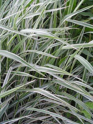 Phalaroides-arundinacea-_07.jpg