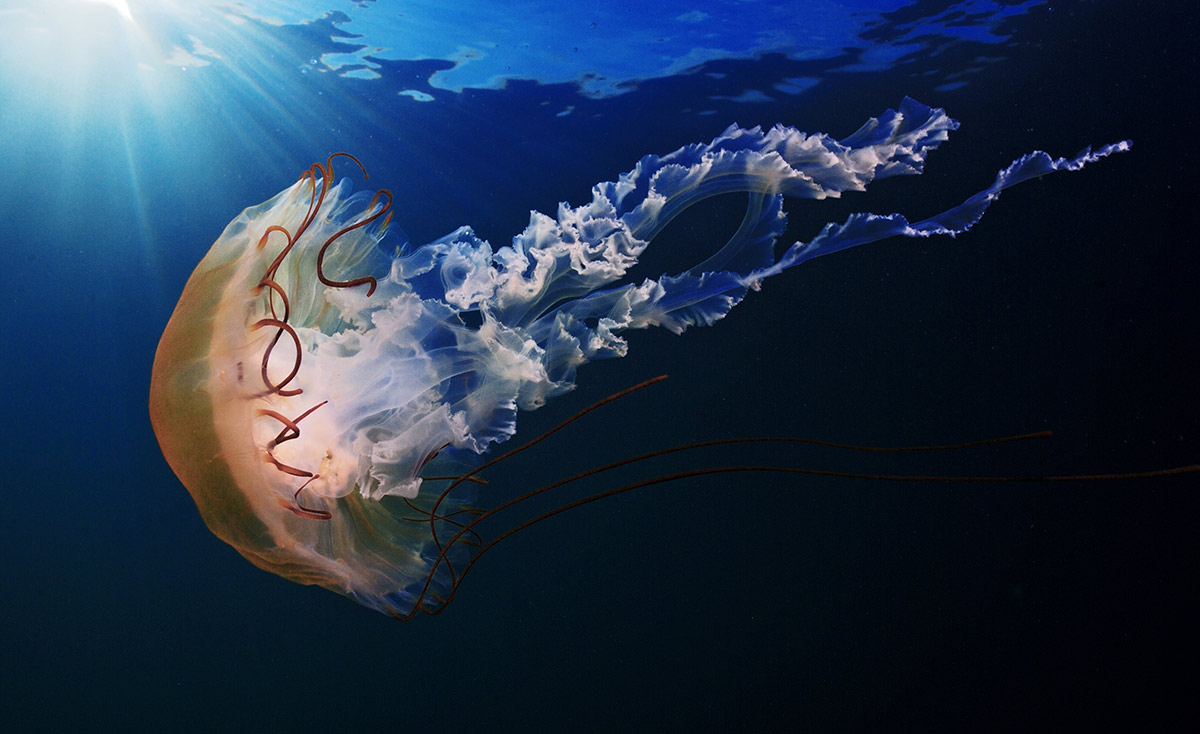Фото с сайта http://shpatak.livejournal.com/ Бухта Рудная. Компасная медуза. 90Х60см.
